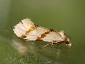 Aethes beatricella (Walsingham, 1898)