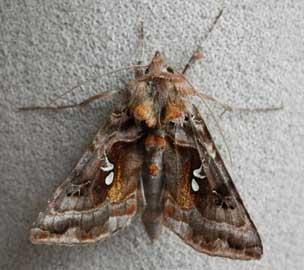 Autographa pulchrina (Haworth, 1809)