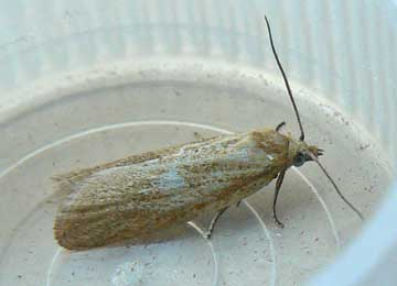 Cnephasia longana (Haworth, 1811)