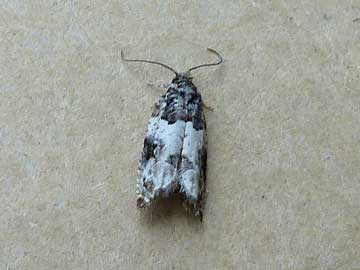 Gypsonoma sociana (Haworth, 1811)