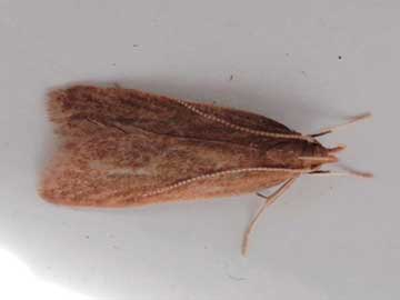 Helcystogramma rufescens (Haworth, 1828)