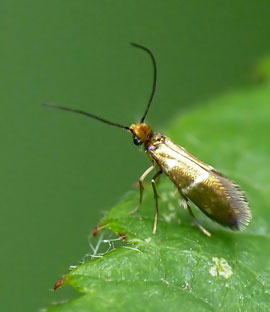 Micropterix aureatella (Scopoli, 1763)