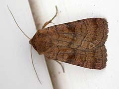 Xestia sexstrigata (Haworth, 1809)